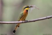 Merops_pusillus204.Lake_Eyasi.Tanzania.23.03.2013