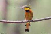 Merops_pusillus209.Lake_Eyasi.Tanzania.23.03.2013