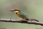 Merops_pusillus218.Lake_Eyasi.Tanzania.23.03.2013