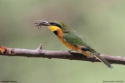 Merops_pusillus222.Lake_Eyasi.Tanzania.23.03.2013