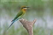 089.015.Merops philippinus001.Bundala N.P.Sri Lanka.3.12.2018