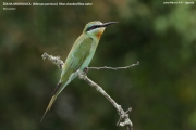 089.17.Merops_persicus001.Lake_Mburo_N.P.Uganda.PJ.4.03.2011