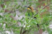 089.21.Merops_hirundineus001.Murchison_Falls_N.P.Uganda.PJ.15.02.2011