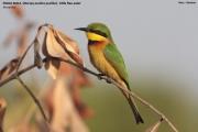 089.24.Merops_pusillus001.Kotu.Gambia.17.01.2009