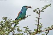Coracias_abyssinicus005.Kidepo_Valley_N.P.Uganda.13.11.2012