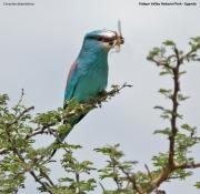 Coracias_abyssinicus006.Kidepo_Valley_N.P.Uganda.13.11.2012