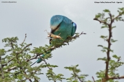 Coracias_abyssinicus007.Kidepo_Valley_N.P.Uganda.13.11.2012