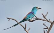 Coracias_abyssinicus008.Kidepo_Valley_N.P.Uganda.14.11.2012