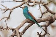090.006.Coracias_abyssinicus001.Benoue_N.P.Kamerun.11.02.2012
