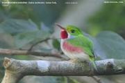 092.Todus_multicolor0002.Cuban_Tody.Zapata.Cuba.AJ.11.01.2018
