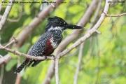 094.025.Megaceryle_maxima002.Female.Lake_Duluti.Tanzania.29.03.2013