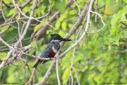 Megaceryle_maxima003.Female.Lake_Duluti.Tanzania.29.03.2013