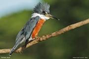 Megaceryle_torquata003.Pantanal.Brazylia.18.11.2013
