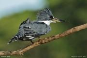 Megaceryle_torquata004.Pantanal.Brazylia.18.11.2013