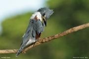 Megaceryle_torquata006.Pantanal.Brazylia.18.11.2013