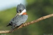 Megaceryle_torquata007.Pantanal.Brazylia.18.11.2013
