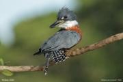 Megaceryle_torquata009.Pantanal.Brazylia.18.11.2013