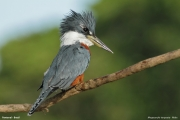Megaceryle_torquata010.Pantanal.Brazylia.18.11.2013