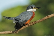 Megaceryle_torquata011.Pantanal.Brazylia.18.11.2013