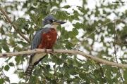 Megaceryle_torquata013.Pantanal.Brazylia.18.11.2013