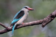 Halcyon_senegalensis009.Mahango.Ngepi.Namibia.26.02.2014