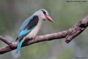 Halcyon_senegalensis010.Mahango.Ngepi.Namibia.26.02.2014