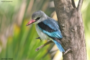 Halcyon_senegalensis002.Awasa.Etiopia.12.11.2009