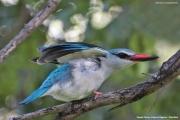 Halcyon_senegalensis007.Mahango.Ngepi.Namibia.24.02.2014