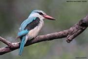 Halcyon_senegalensis012.Mahango.Ngepi.Namibia.26.02.2014