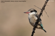 094.042.Halcyon_chelicuti001.Lake_Langano.Etiopia.22.11.2009