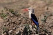 Halcyon_leucocephala002.Murchison_Falls_N.P.Uganda.PJ.15.02.2011