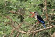 Halcyon_leucocephala003.Murchison_Falls_N.P.Uganda.PJ.16.02.2011
