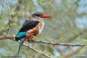 Halcyon_leucocephala004.Murchison_Falls_N.P.Uganda.18.11.2012