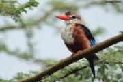 Halcyon_leucocephala017.Lake_Natron_camp.Tanzania.28.03.2013