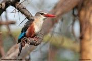 Halcyon_leucocephala007.Lake_Manyara_N.P.Tanzania.18.03.2013