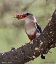 Halcyon_leucocephala011.Lake_Natron_camp.Tanzania.27.03.2013