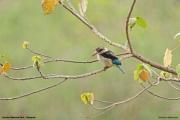 Halcyon_albiventris002.Arusha_N.P.Tanzania.16.03.2013