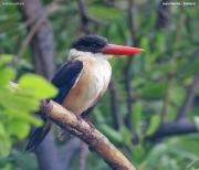 Halcyon_pileata003.Laem_Pak_Bia.Thailand.MJ.12.11.2012