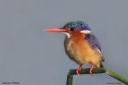 Corythornis_cristatus006.PJ.Awasa_Lake.Etiopia.12.11.2009