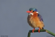 Corythornis_cristatus007.PJ.Awasa_Lake.Etiopia.12.11.2009