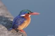 Corythornis_cristatus008.Awasa_Lake.Etiopia.12.11.2009