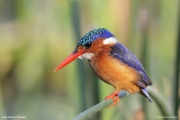 Corythornis_cristatus010.Awasa_Lake.Etiopia.12.11.2009