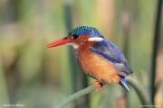 Corythornis_cristatus011.Awasa_Lake.Etiopia.12.11.2009