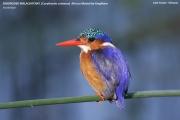 094.005.Corythornis_cristatus001.Awasa_Lake.Etiopia.12.11.2009