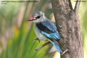 094.040.Halcyon_senegalensis001.Awasa.Etiopia.12.11.2009