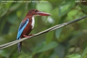 094.045.Halcyon smyrnensis001.Kitulgala.Sri Lanka.7.12.2018