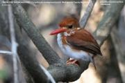 094.003.Corythornis madagascariensis001.Ankarafantsika N.P.Madagaskar.24.10.2018