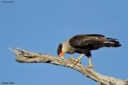 Caracara_plancus007.Pantanal.Brazylia.14.11.2013