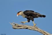 Caracara_plancus008.Pantanal.Brazylia.14.11.2013