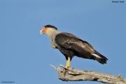 Caracara_plancus009.Pantanal.Brazylia.14.11.2013